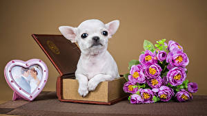 Фотографии День всех влюблённых Собаки Букеты Розы Сердечко Чихуахуа Животные