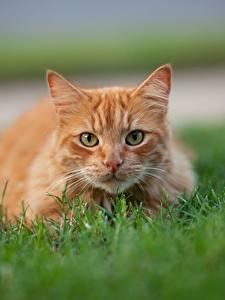Фотографии Кот Рыжая Траве Смотрит Размытый фон животное