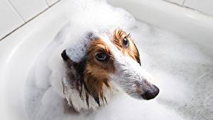 Картинка Собаки Пена Ванная Смотрят Недовольство Животные