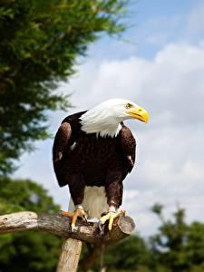 Фотографии Птица Орел Белоголовый орлан Ветки Взгляд животное