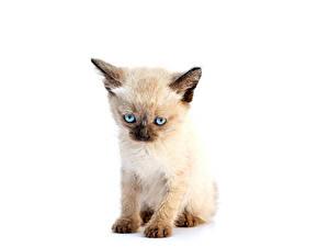Картинки Коты Белом фоне Котенок животное