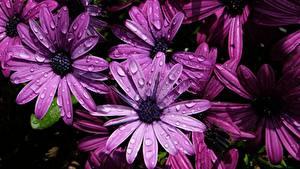 Обои для рабочего стола Вблизи Фиолетовая Капель Osteospermum цветок