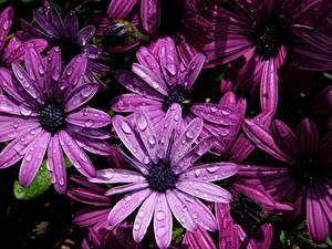 Картинки Вблизи Фиолетовая Капель Osteospermum цветок