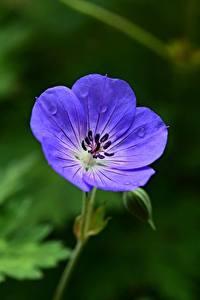 Картинка Герань Размытый фон Синих Цветы