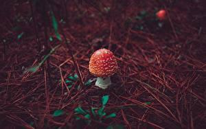 Фотографии Грибы природа Мухомор Красный Природа