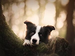 Фотографии Собаки Смотрит Бордер-колли