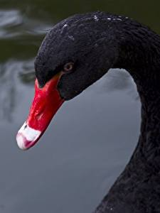 Картинка Птицы Лебеди Вблизи Черный Клюв Животные