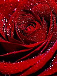Картинка Розы Вблизи Макро Капля Красный цветок