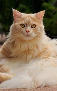 Фотография Кошки Рыжий Пушистый