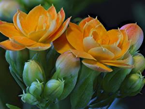Фотографии Каланхое Крупным планом Оранжевый Бутон Цветы