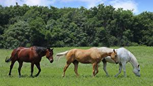 Обои Лошадь Луга Втроем Трава Животные