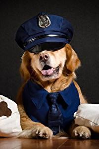 Обои Собаки Золотистый ретривер Шляпа Полицейские Животные