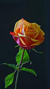 Обои Роза Крупным планом Черный фон Цветы