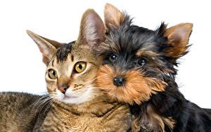 Обои Кошки Собаки Белый фон 2 Йоркширский терьер Взгляд животное