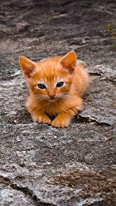 Фото Коты Рыжая Котенка