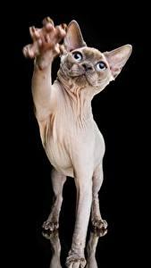 Картинки Коты Сфинкс кошка Черный фон Лап Животные