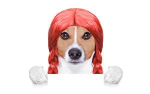 Обои Креатив Собака Белом фоне Джек-рассел-терьер Волосы