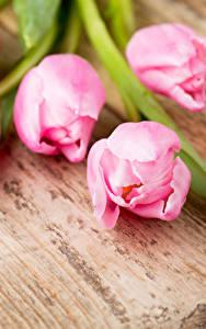 Картинка Тюльпан Крупным планом Доски Розовый Цветы
