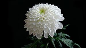 Фотография Хризантемы Крупным планом Черный фон Белые цветок