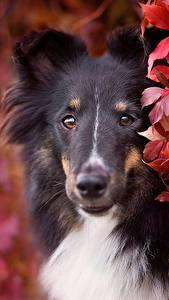 Обои Собака Колли Смотрят Морда