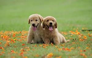 Фото Собака Золотистый ретривер Две Траве Щенок Язык (анатомия) животное