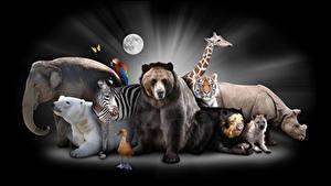 Фотография Слоны Полярный Бурые Медведи Зебры Птицы Гиппопотамы Жирафы Тигр Черный фон животное