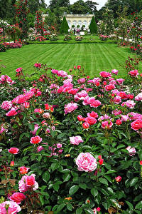 Картинки Франция Сады Розы Париж Газоне Кустов Bagatelle Rose Garden