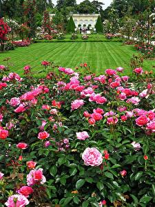 Картинки Франция Сады Розы Париж Газоне Кустов Bagatelle Rose Garden Природа