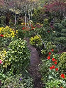 Фото Англия Сады Тюльпаны Кусты Walsall Garden Природа