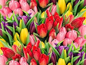 Картинки Тюльпан Много Разноцветные Капля Цветы