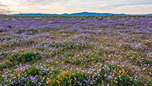 Фотографии Штаты Поля Мак Луга Калифорнии Gilia tricolor
