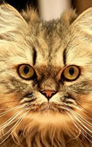 Фотография Коты Пушистый Взгляд Усы Вибриссы Животные