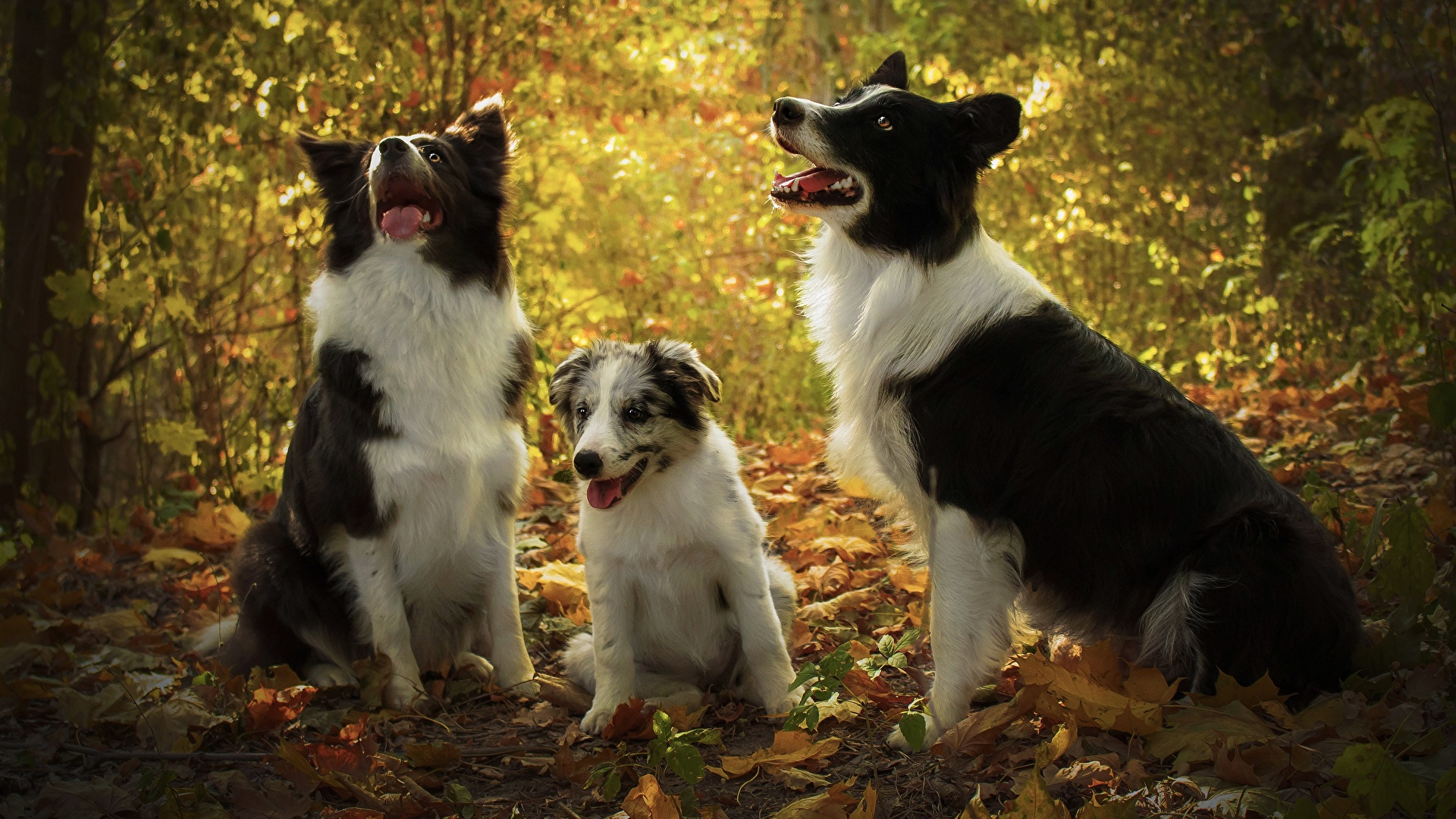 Фотографии Щенок Бордер-колли Собаки втроем Животные 1920x1080 Трое 3