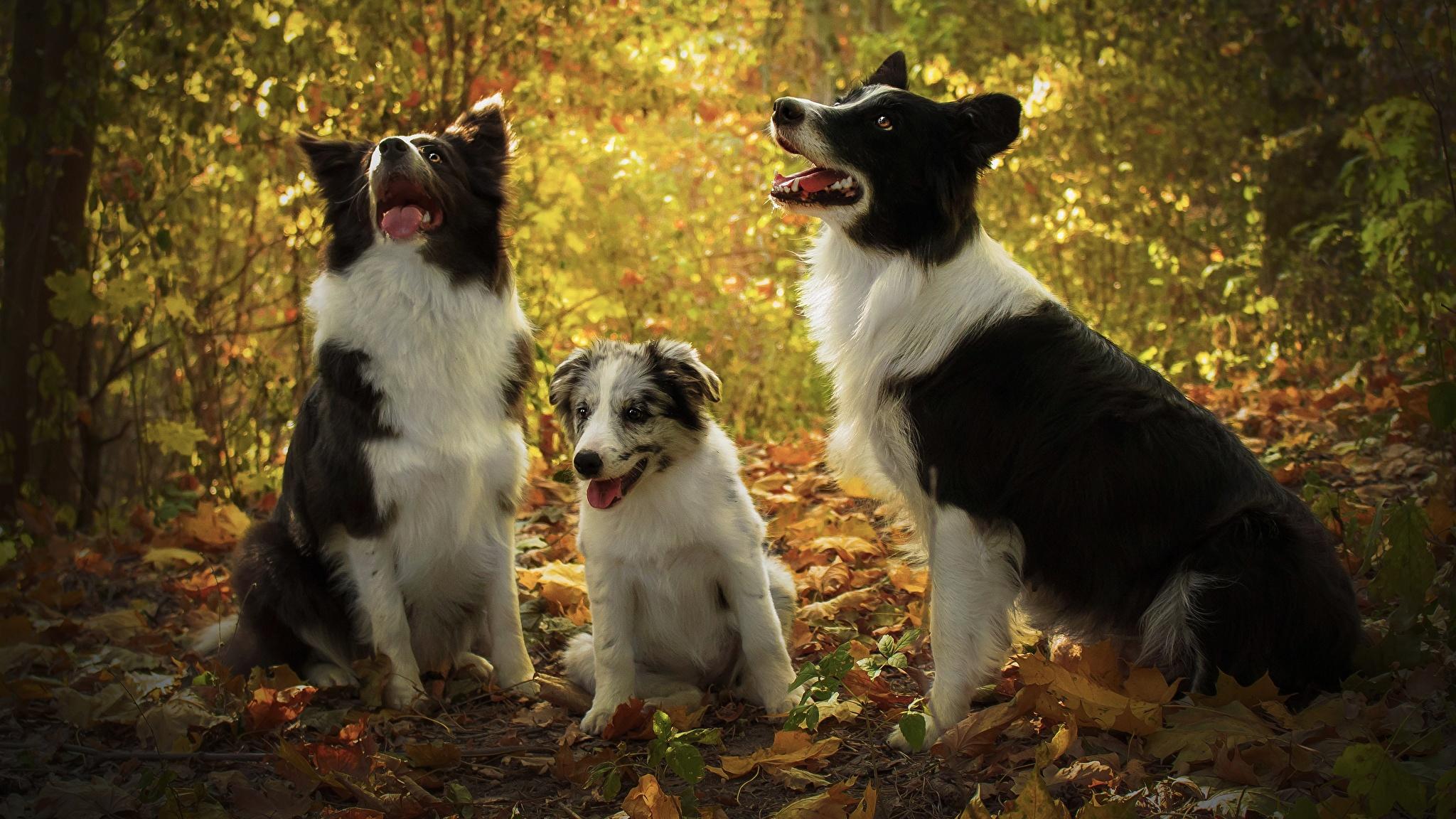 Фотографии Щенок Бордер-колли Собаки втроем Животные 2048x1152 Трое 3