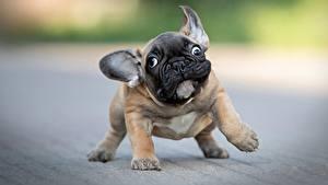 Фотографии Собака Забавные Бульдога Щенки Боке