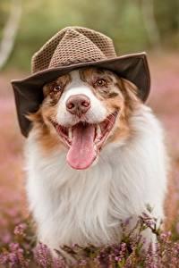 Фотография Собаки Язык (анатомия) Забавные Шляпа Австралийская овчарка
