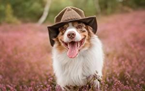 Фотография Собаки Язык (анатомия) Забавные Шляпа Австралийская овчарка Животные