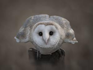 Обои Птицы Крупным планом Совообразные Barn owl Животные