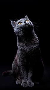 Картинка Кот На черном фоне Взгляд Животные