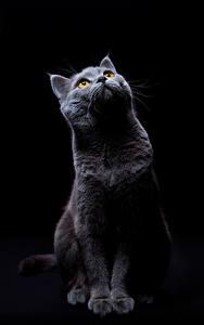 Картинка Кот На черном фоне Взгляд