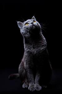 Картинка Кошки Черный фон Смотрит животное