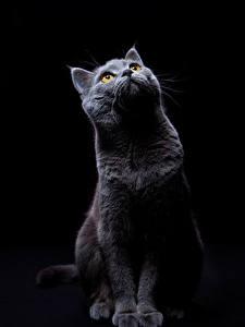 Картинка Кошки Черный фон Взгляд Животные