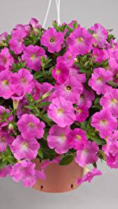 Фотография Петуния Много Серый фон Фиолетовых Цветы