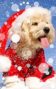 Фотография Рождество Собаки Болоньез Язык (анатомия) Шапки Снежинки