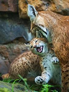 Фото Рыси Детеныши 2 Животные