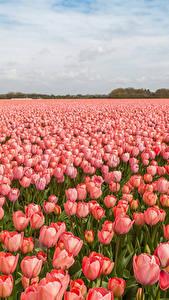 Фото Нидерланды Поля Тюльпаны Много Розовые цветок