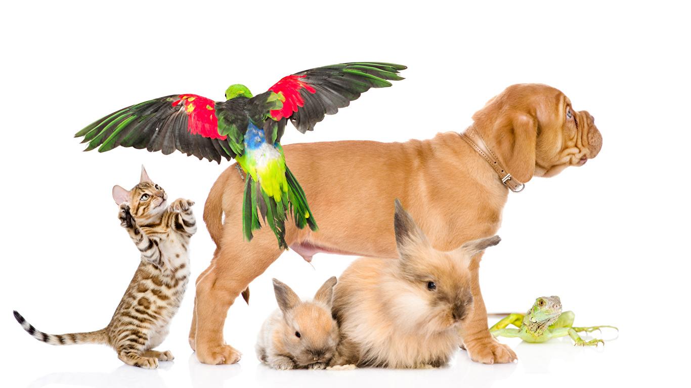 Фото Шарпей Коты Собаки Лягушки Кролики Попугаи Животные Белый фон 1366x768 Кошки