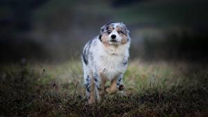 Фото Собаки Австралийская овчарка Бег