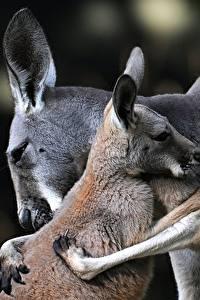 Фотография Кенгуру Любовь Детеныши Вдвоем Объятие Животные