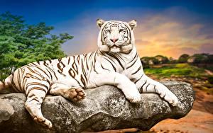 Обои Большие кошки Тигры Белый Взгляд Животные